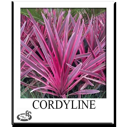 Cordyline Sacramento Nursery LandscaPe
