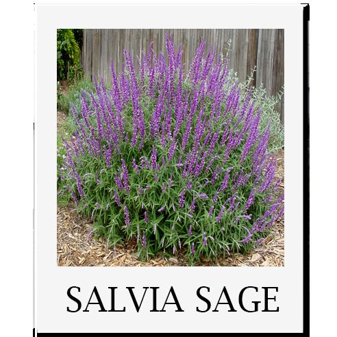 Sacramento Salvia Purple