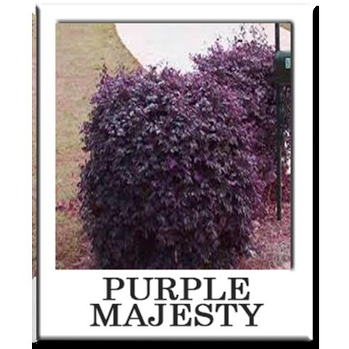 Purple Majesty Elk Grove Landscaping