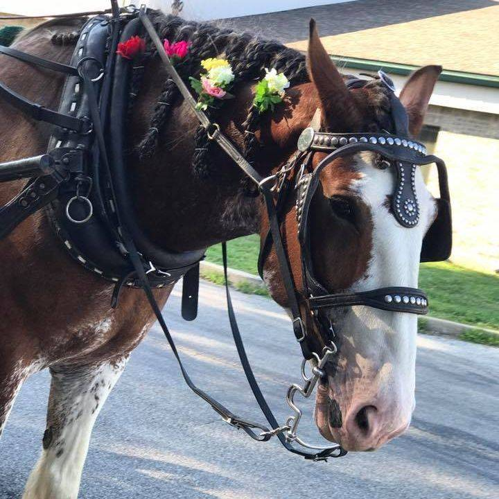 Clydesdale wagon rides
