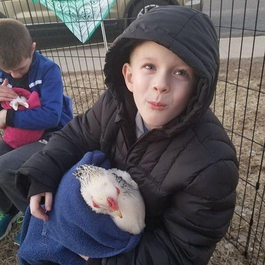 Boy petting chicken in petting farm