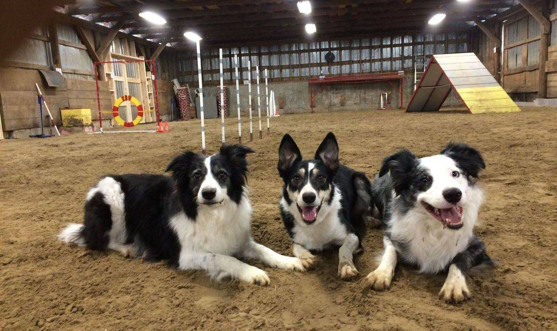 Border collies, agility training, indoor facility, TopSkill K9