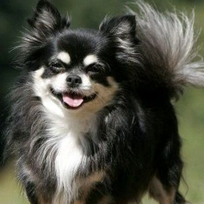 Long Haired Chihuahua Picture 3