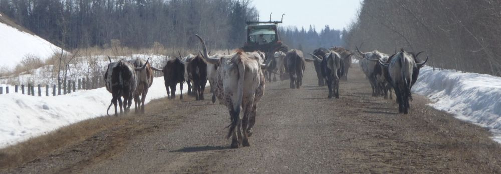 Moving Longhorns home.