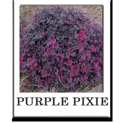 Purple Pixie Sacramento Landscape Nursery