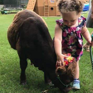 little girl petting mini cow
