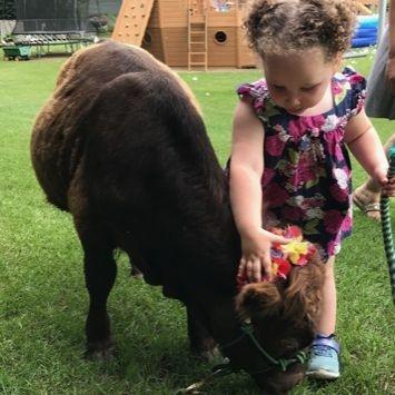 little girl petting mini cow