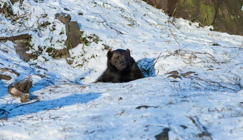 Hibernating black bear peeking out of the snow during winter