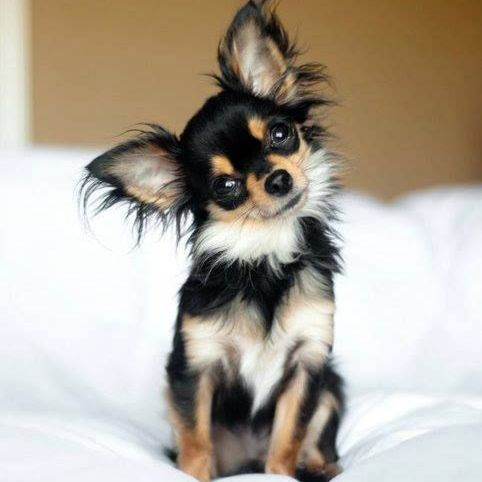 Long Haired Chihuahua Picture 4
