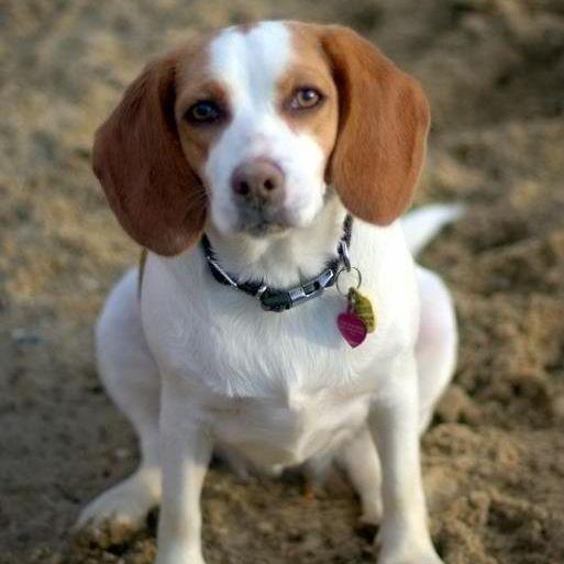 Photo of a beagle looking at the camera