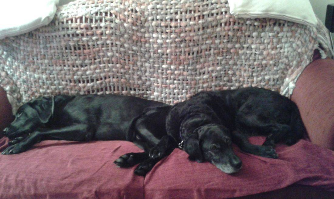 Black labradors sleeping on the sofa