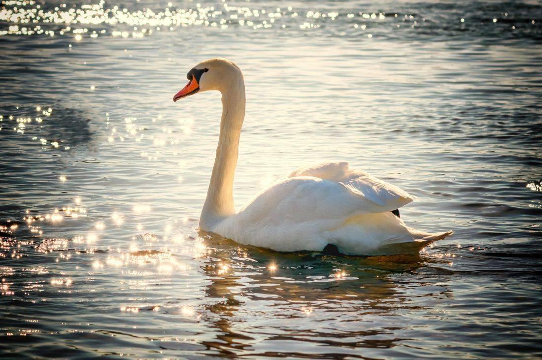 swan, lake, beautiful, calm, wanderlust, inspired
