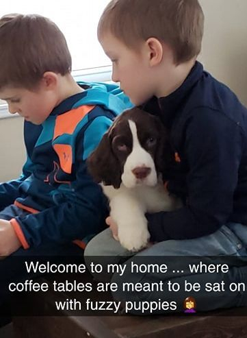trojh english springer spaniel puppy