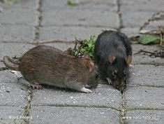 rat removal specialists in oxfordshire oxford