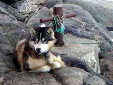 grömlandhund mit zerschrammter nase angekettet