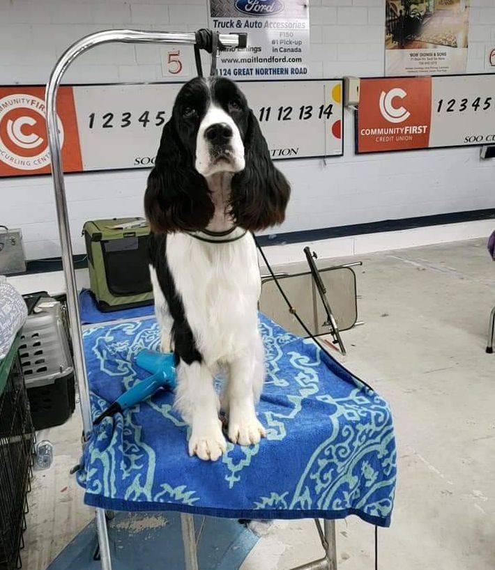 ontario english springer spaniel breeder in ontario puppies