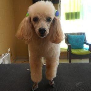 Poodle Lamb Cut