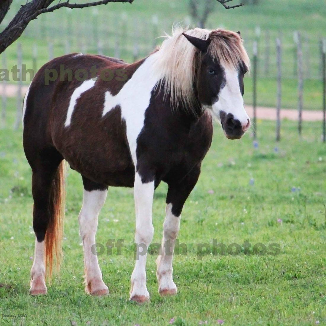 photography, animals, farm, country, pinto horses, pasture, grumpy, bad day
