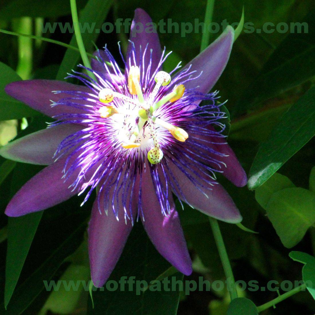 photography, flowers,purple, passion, nature, gardens, beautiful, growing, colorful, sunshine