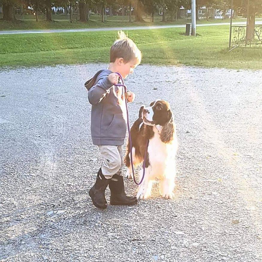 ontario english springer spaniels breeders puppies trojh english springer spaniels