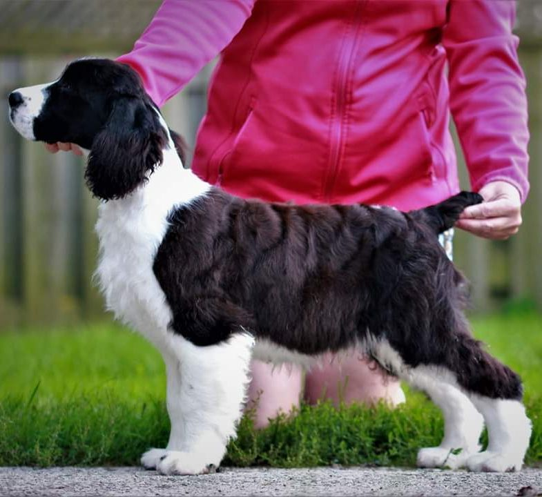 ontario english springer spaniel breeders puppies trojh