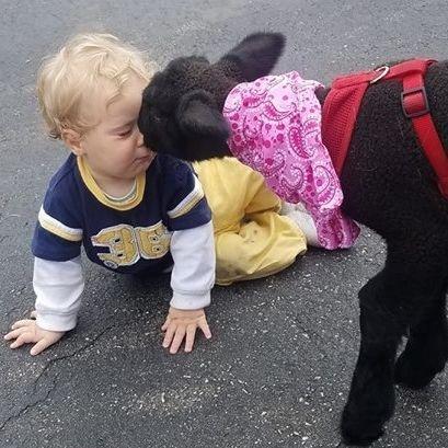 Lamb kissing baby in petting zoo