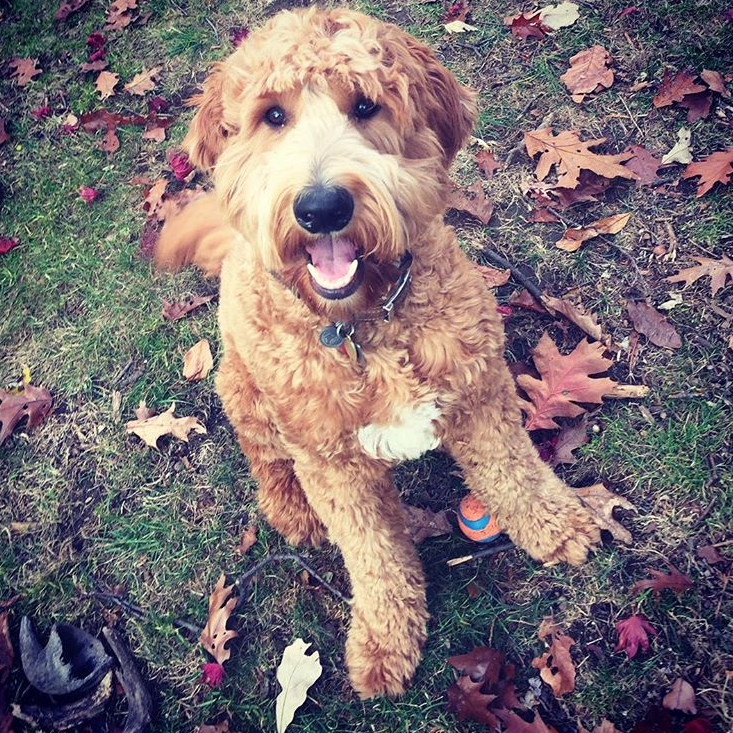 Photo of a smiling golden dog in the fall