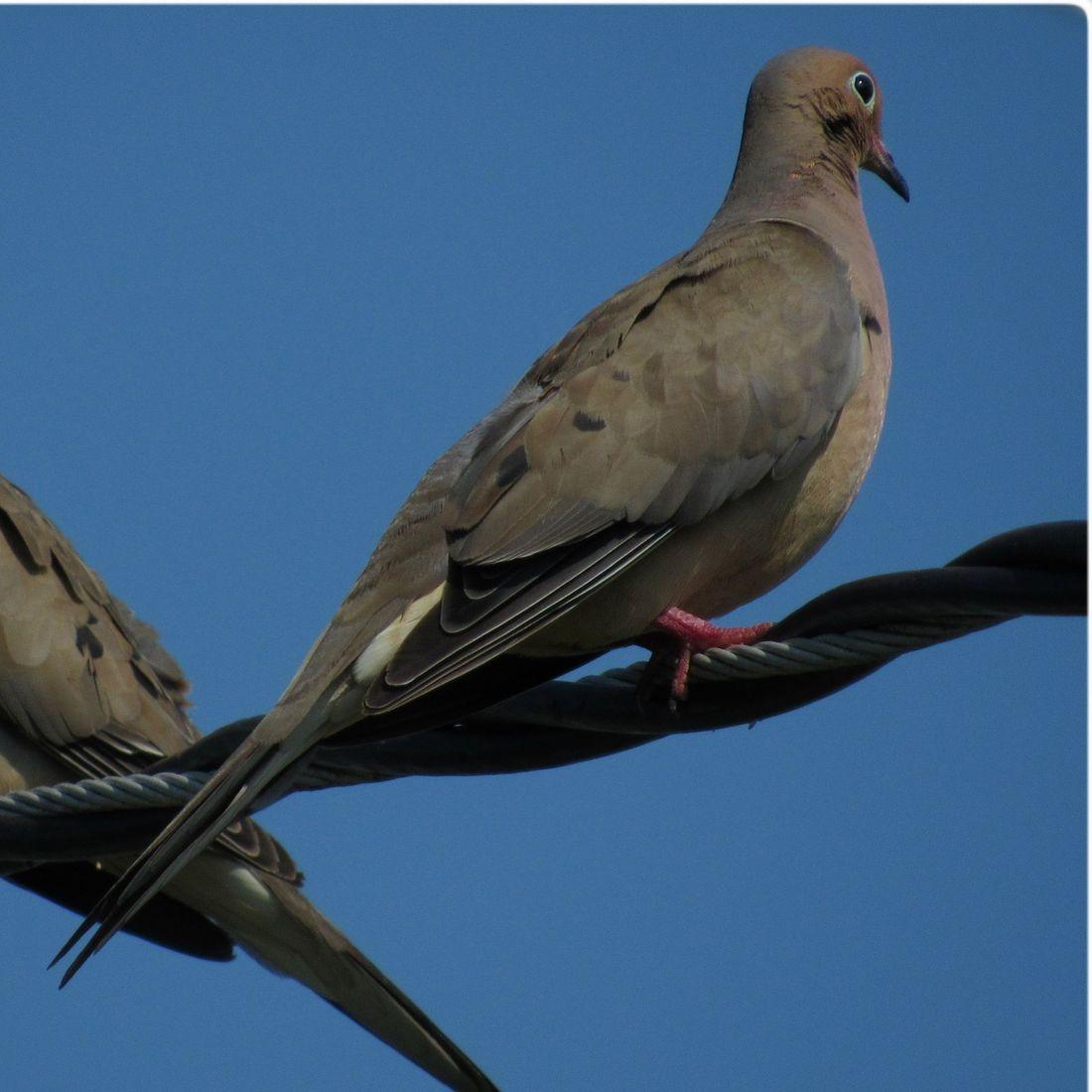 Pigeon, Bird, Sky