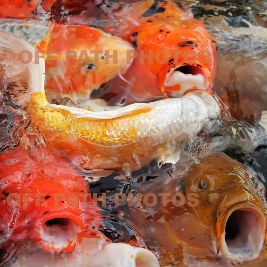 photography, water, pond, food, hungry, animal, relax, coy fish, friendly