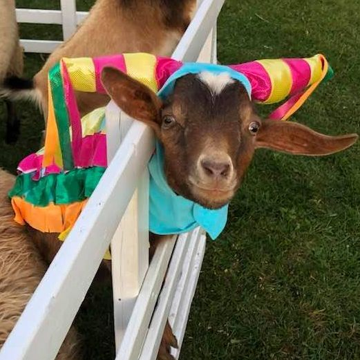 alpaca wearing a butterfly costume