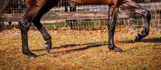 Mangalarga Marchador Breeder - Breeding for Gait