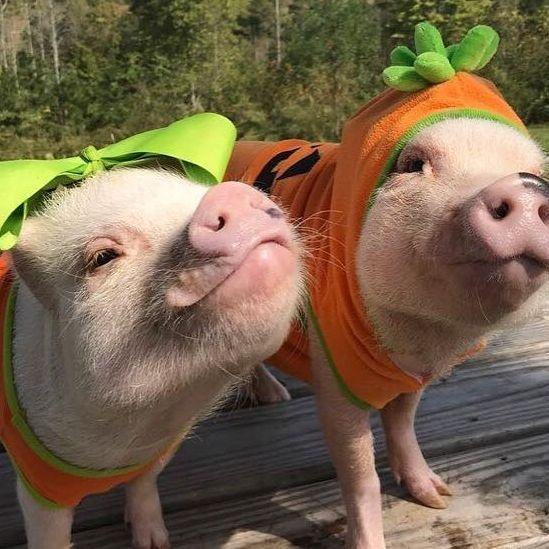 Pigs in pumpkin costume