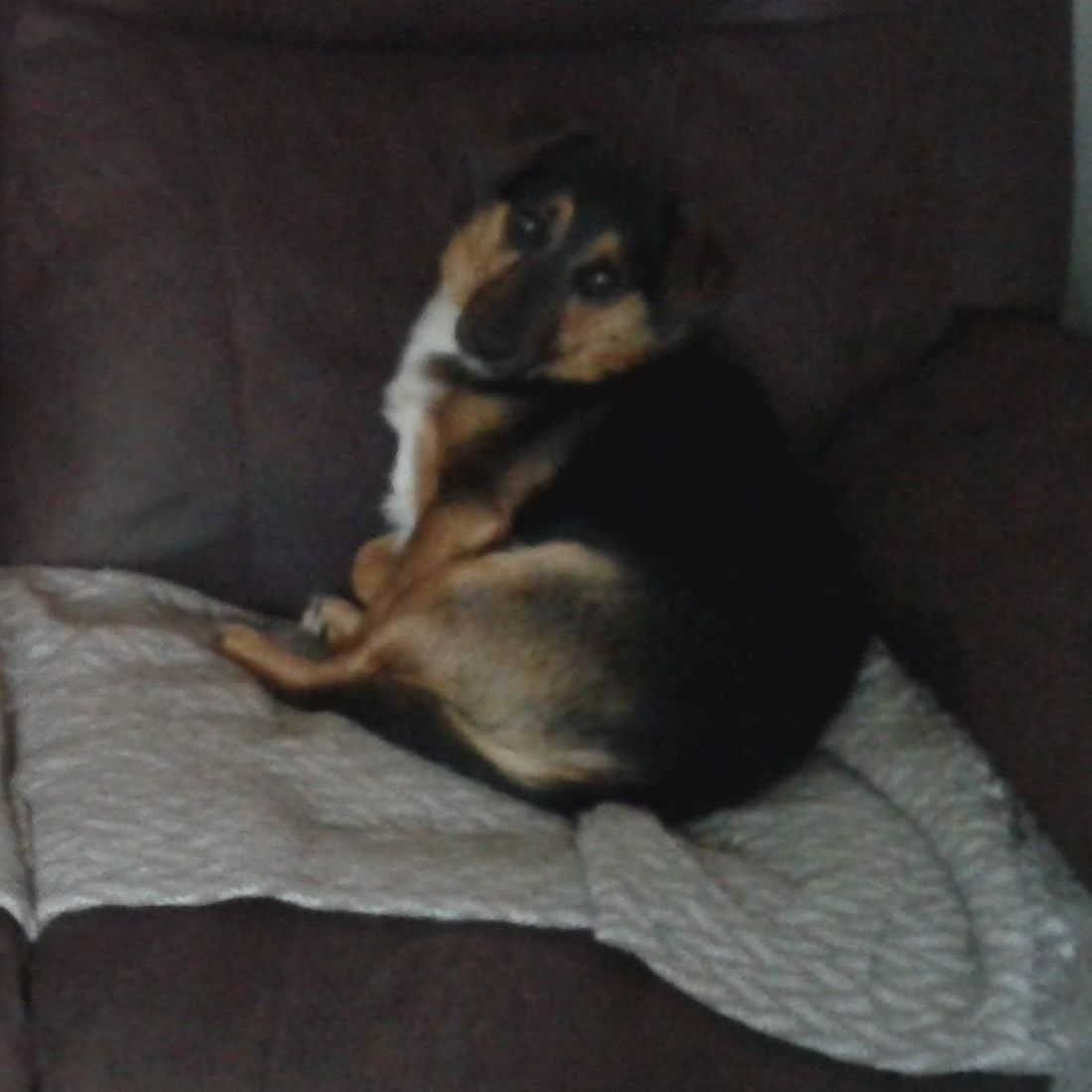 Cute Jack Russell on sofa