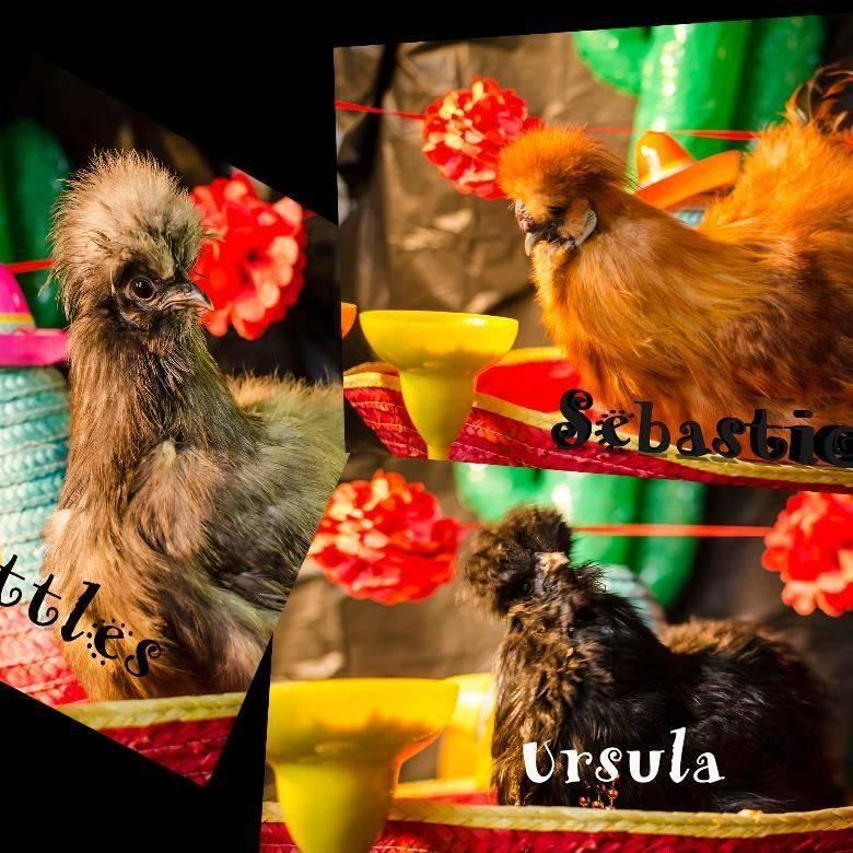 Chickens in petting farm