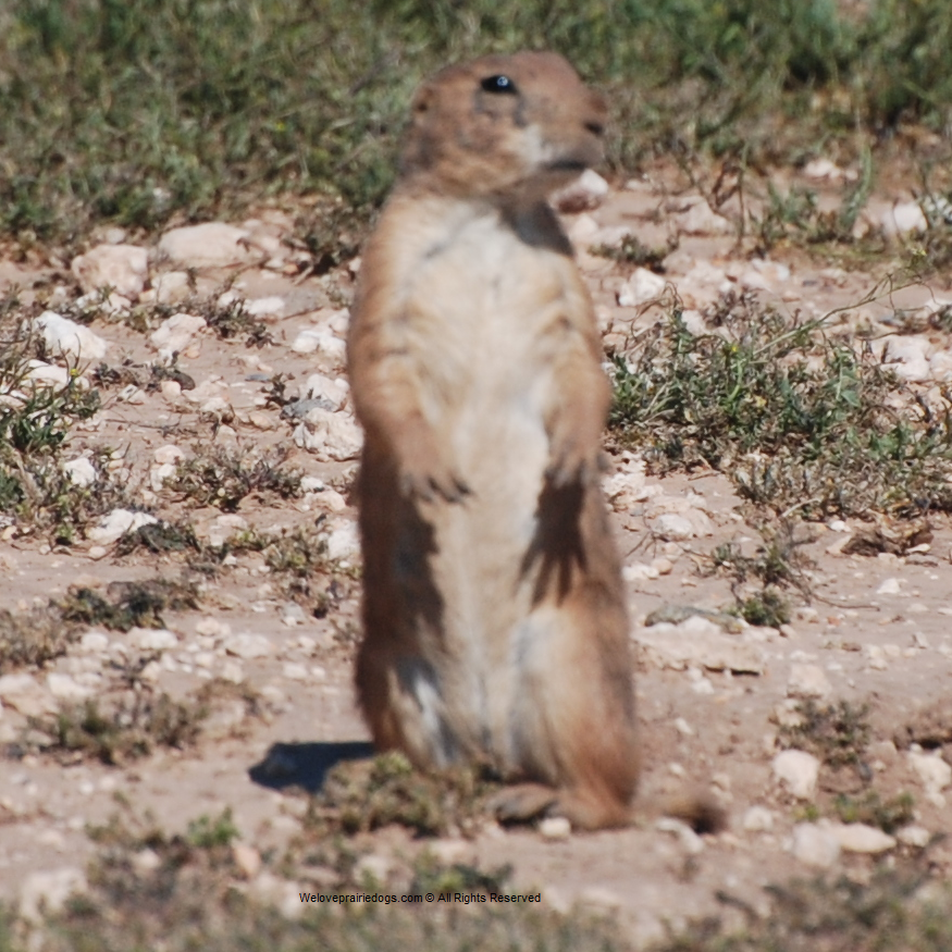 wild prairie dog relocation charity non-profit conservation protection removal