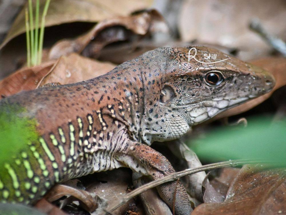Giant ameiva, amazon, reptile, wildlife, lizard