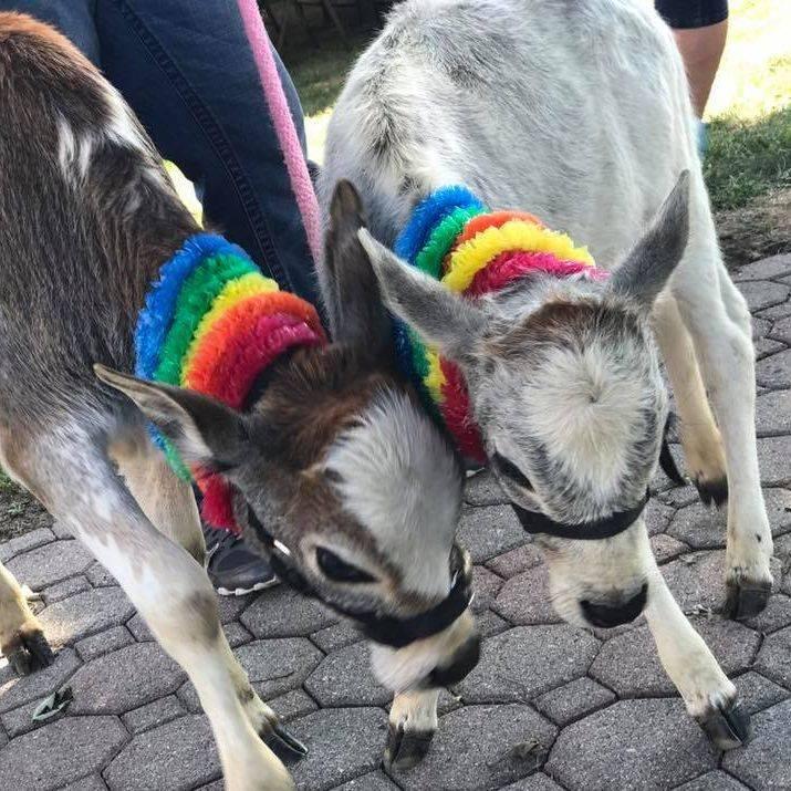 Calves in carnival