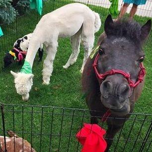 mini horse in petting zoo