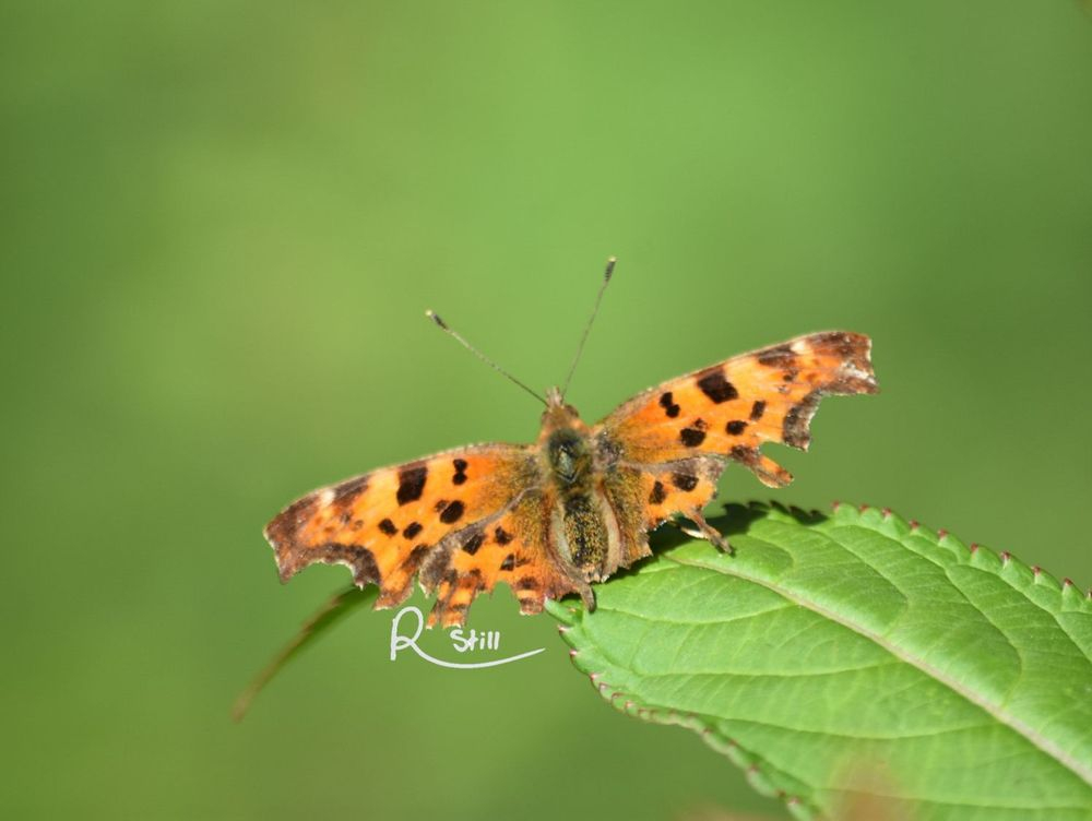 comma butterfly, british wildlife, insects