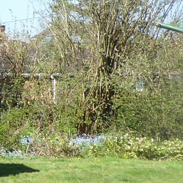 Surrey country garden Spring gardening