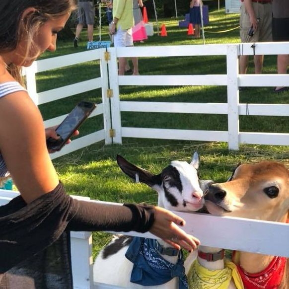 Calf and a goat in a petting zoo
