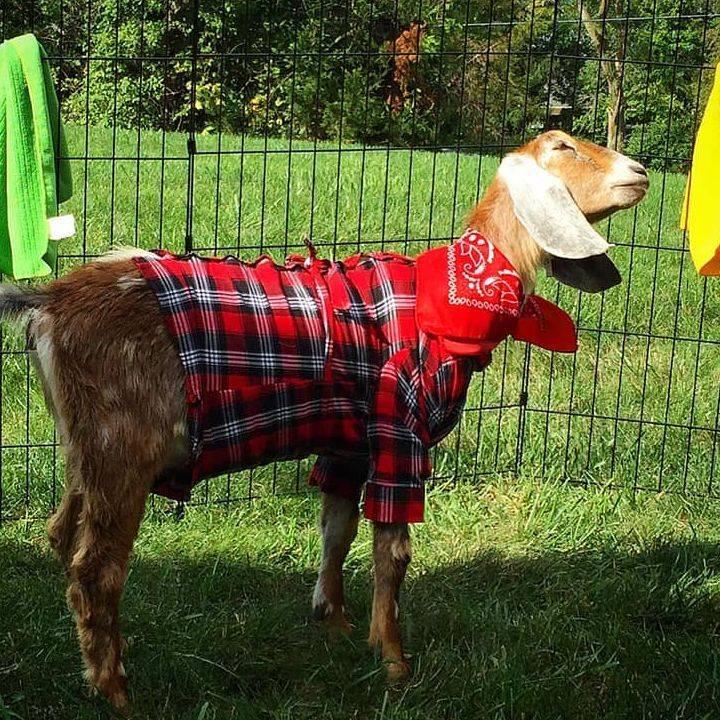Goat in a costume