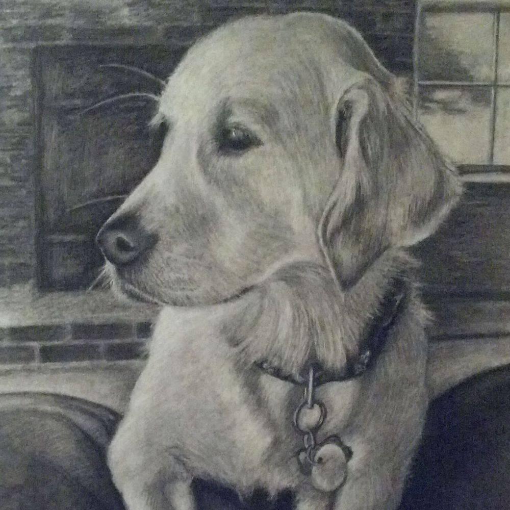 dog, goldeb retriever, pets, pet portrait