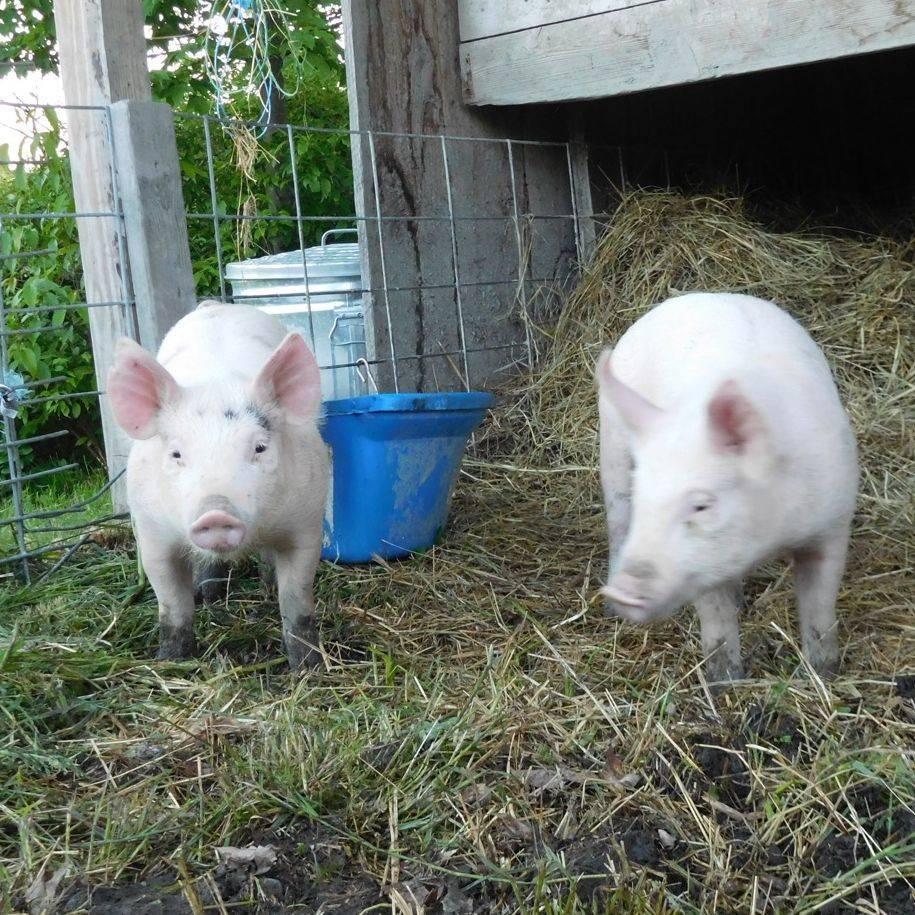 Steinbock Farm Animals Piglets