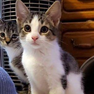 Female Tabby kitten available for adoption