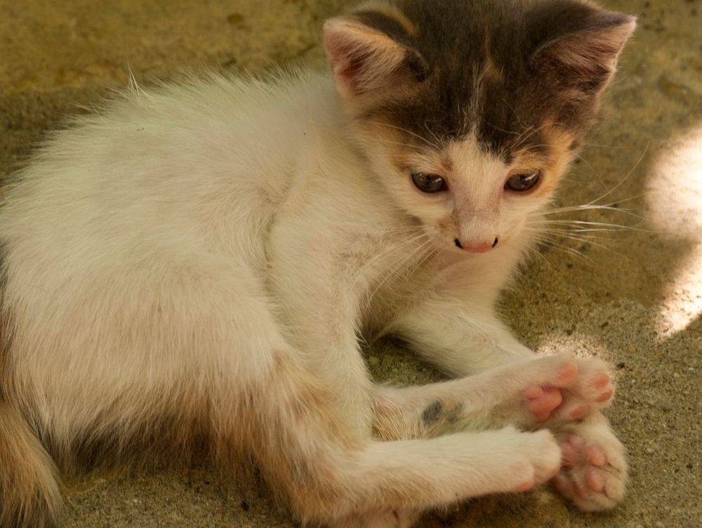 Environmental Cleaning for cats with Ringworm, how to clean when cat has ringworm
