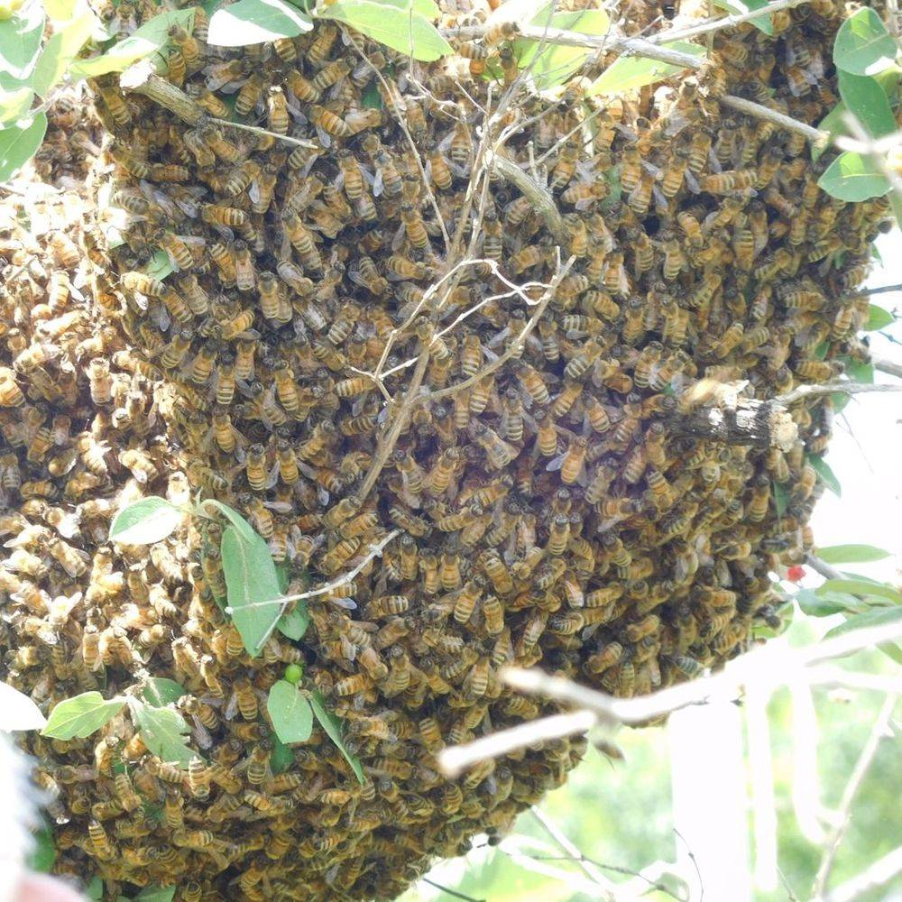 Steinbock Farm Bee Swarm