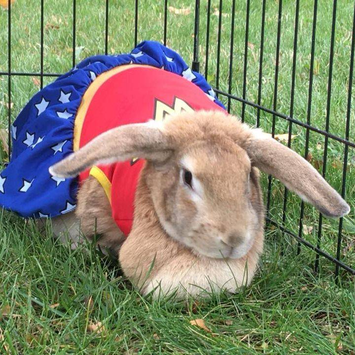 Large rabbit wearing a wonder woman costume