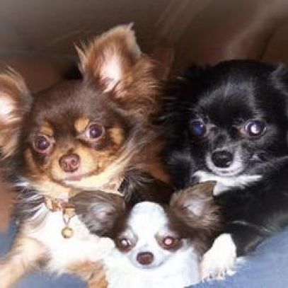 Long Haired Chihuahua Picture 7