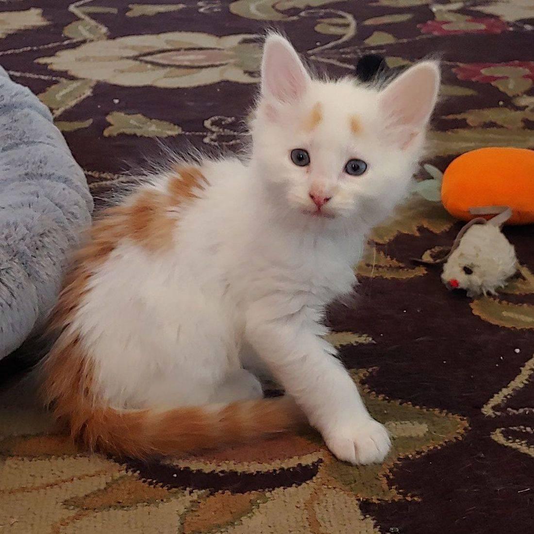 Orange and White Long Haired Kitten
